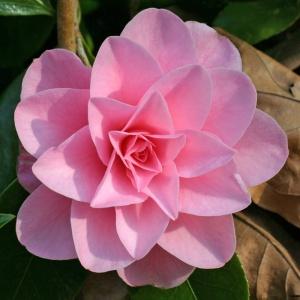 Camellia Betty Ridley