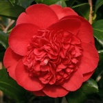 Camellia Betty Robinson