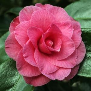 Camellia Betty Sheffield Pink