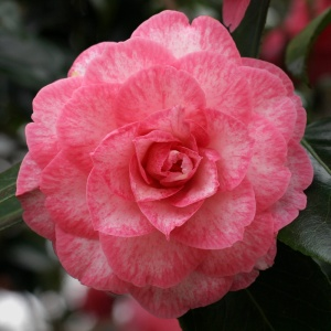 Camellia Betty Sheffield Supreme