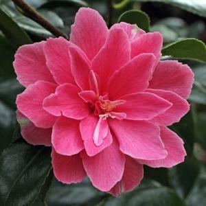 Camellia Billie McCaskill