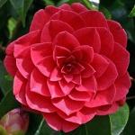 Camellia Black Lace