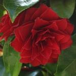 Camellia Black Tie