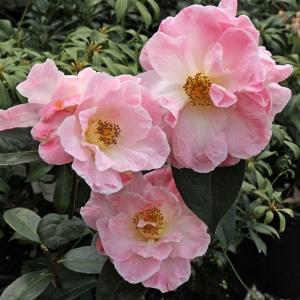 Camellia Blissful Dawn