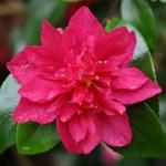Camellia Bonanza