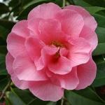 Camellia Bowen Bryant