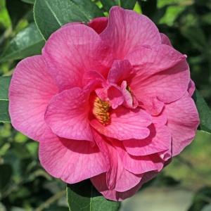 Camellia Brigadoon
