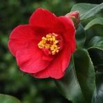 Camellia Bright Buoy