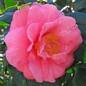 Camellia Burnham Beeches