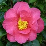 Camellia Burwells Primus