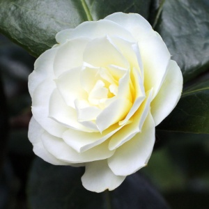 Camellia Buttermint