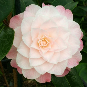 Camellia Buttons and Bows