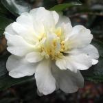 Camellia sasanqua 'Gay Sue'