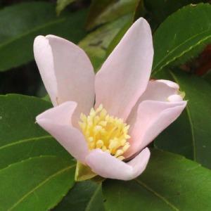 'Camellia sasanqua 'Maiden's Blush'