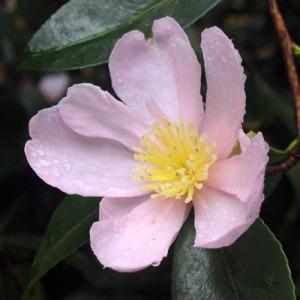 Camellia sasanqua 'Plantation Pink'