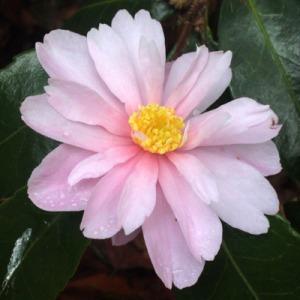 Camellia 'Winters Rose'
