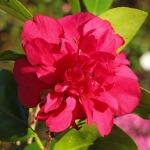 Camellia x hiemalis Bonanza
