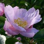 Camellia sasanqua Cotton Candy