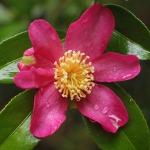 Camellia sasanqua Crimson King