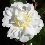 Camellia sasanqua Gay Sue