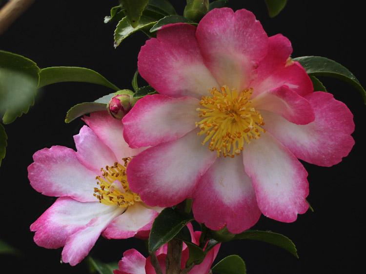 Camellia sasanqua Navajo