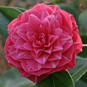 Camellia 'Daintrie Sievers'