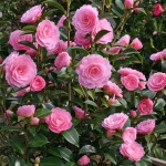 Camellia x williamsii 'E G Waterhouse'