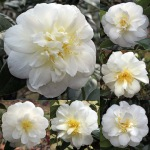 Camellia japonica 'Edelweiss'