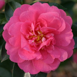 Camellia x williamsii 'Edward Carlyon'