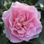 Camellia japonica 'Elegans Supreme'