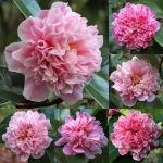 Camellia 'Elizabeth Rose Open'