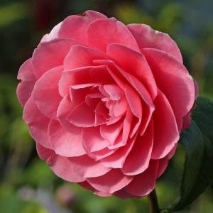 Camellia japonica 'Elizabeth Weaver'