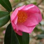 Camellia x williamsii 'Ellamine'