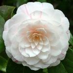 Camellia japonica 'Ellen Doubleday'