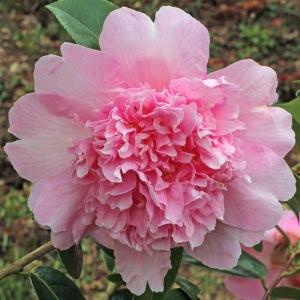 Camellia x wiliamsii 'Elsie Jury'