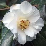 Camellia japonica 'Emmett Barnes'