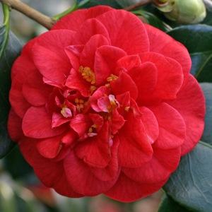 Camellia japonica 'Emperor of Russia'
