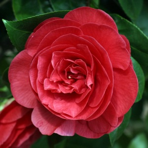 Camellia x williamsii 'Empire Rose'