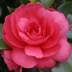 Camellia japonica 'Enrico Bettoni'