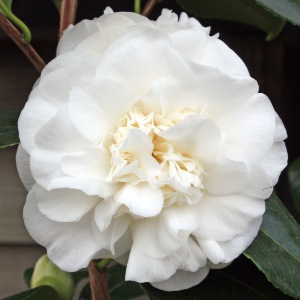 Camellia japonica 'Eric Baker'