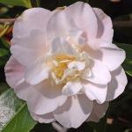 Camellia japonica 'Erin Farmer'