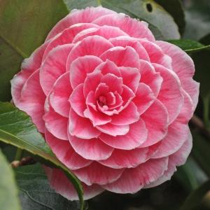 Camellia japonica 'Eugénie de Massèna'
