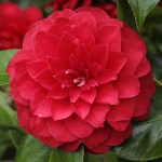 Camellia japonica 'Eximea'