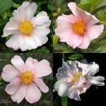 Camellia sasanqua 'Exquisite' (Waterhouse)