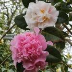 Camellia x williamsii 'Fair Jury'