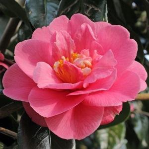 Camellia japonica 'Faith'