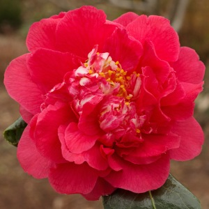 Camellia 'Fire'n'Ice'