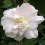 Camellia japonica 'Floradora Girl'