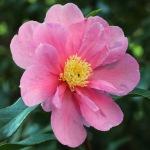 Camellia 'Flower Girl'
