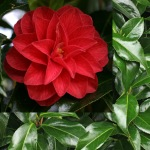 Camellia japonica 'Forest Green'